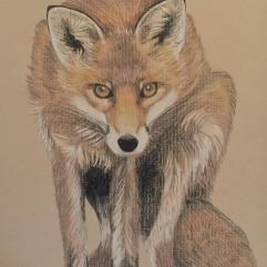 Weary Fox - watercolour pencil